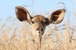 Large Ears Listening on Elhers Deer